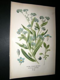 Step 1897 Antique Botanical Print. Alpine Forget-Me-Not